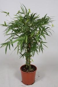 Бамбук вздутый 30х130 (2)