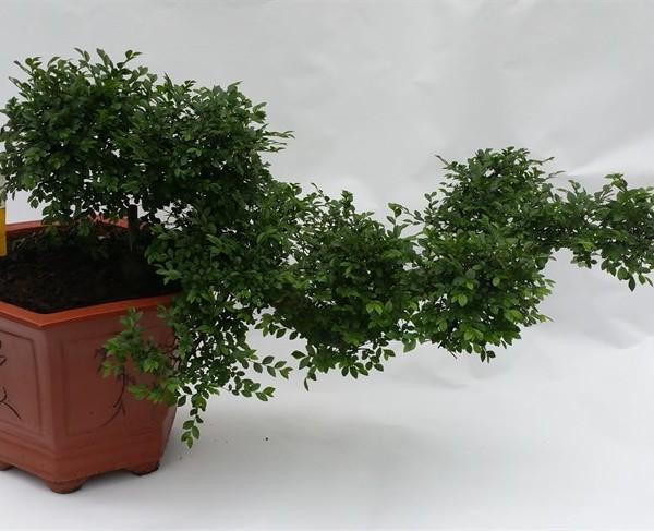 Бонсаи дзельква каскад Zelkova Cascade 45х65 (116)