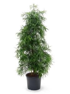 Бонсай ногоплодник (Podocarpus gracilor) 31х175 (110)