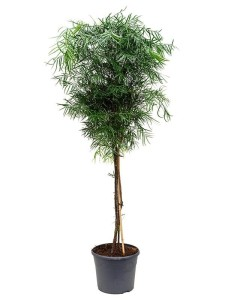 Бонсай ногоплодник (Podocarpus gracilor) 31х190 (111)