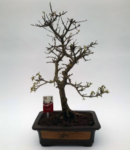 Бонсай acer buergerianum (клён трёхраздельный) 30х55 (90)
