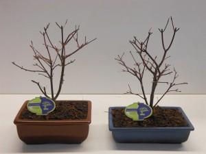 Бонсай acer palmatum (Клён дланевидный) 23х35 (49)
