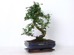Бонсай carmona macrophylla крупнолистная 25х45 (29)