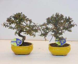 Бонсай cotoneaster (кизильник) 16х30 (52)