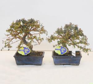 Бонсай cotoneaster (кизильник) 19х30 (80)