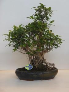 Бонсай ficus retusa (фикус ретуза) 43х70 (103)