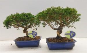 Бонсай juniperus chinensis (можжевельник китайский) 22х35 (100)