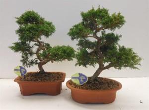 Бонсай juniperus chinensis (можжевельник китайский) 28х45 (109)