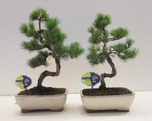Бонсай pinus parviflora pentaphylla 21х35 (82)