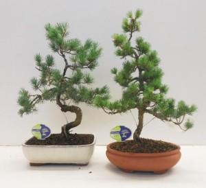 Бонсай pinus parviflora pentaphylla 26х50 (104)