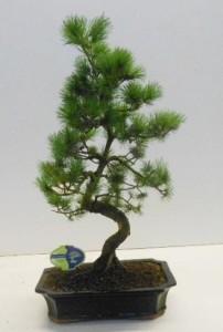 Бонсай pinus pentaphylla parviflora 30х65 (114)
