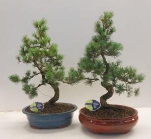Бонсай pinus pentaphylla parviflora 31х60 (113)