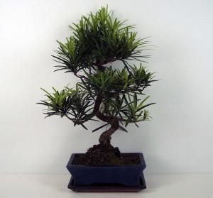 Бонсай podocarpus macrophylla (подокарп крупнолистный) 30х50 (69)