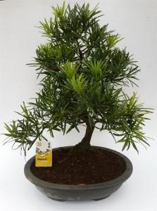 Бонсай podocarpus macrophylla (подокарп крупнолистный) 35х60 (70)