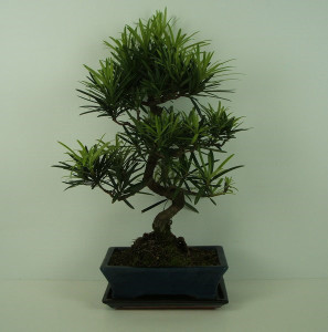 Бонсай podocarpus macrophylla 25х40 (31)