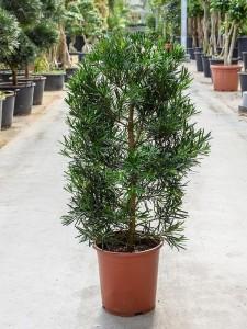 Бонсай podocarpus macrophyllus (подокарп крупнолистный) 27х100 (105)