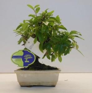 Бонсай pyracantha (пираканта) 15х30 (58)
