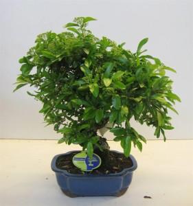 Бонсай pyracantha 26х50 (101)