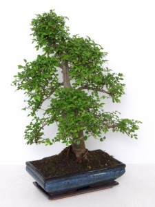 Бонсай ulmus parvifolia (вяз мелколистный) 35х56 (93)