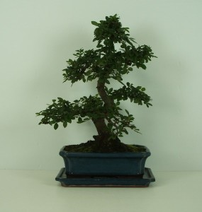 Бонсай ulmus parvifolia мелколистный 25х42 (30)