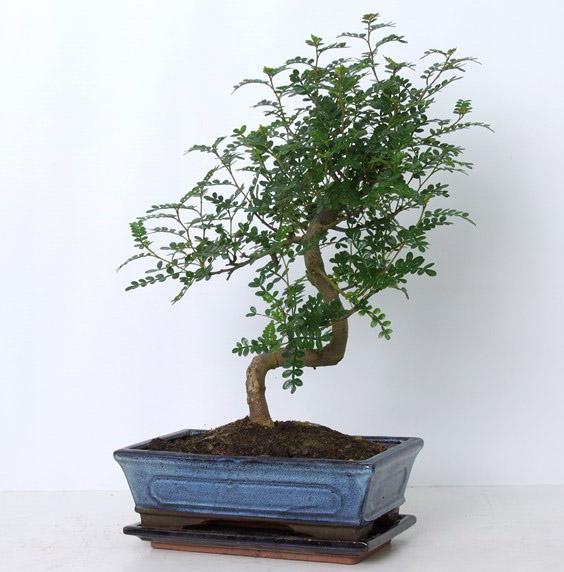 Бонсай zanthoxylum piperitum 25х40 (33)