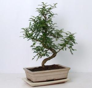 Бонсай zanthoxylum piperitum 30х45 (63)