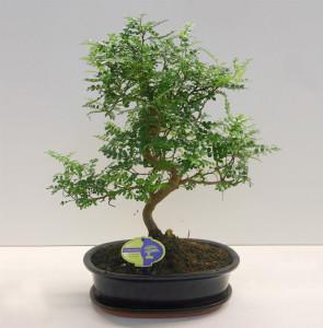 Бонсай zanthoxylum piperitum 31х55 (85)