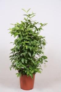 Драцена Годсефа (Dracaena surculosa) 27х110 (150)