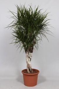 Драцена окаймлённая (dracaena marginata) 40х160 (143)