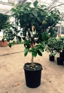 Каламондин вулкан лимон с зелеными фруктами 35х160 (9)