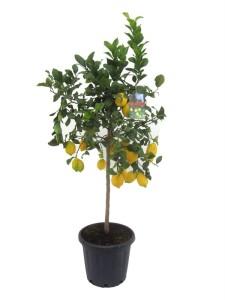 Каламондин вулкан лимон 40х150 (5)