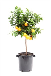 Каламондин мелкоплодный апельсин 46х160 (13)
