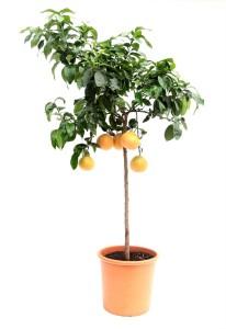 Каламондин мелкоплодный грейпфрут 46х175 (16)