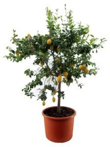 Каламондин мелкоплодный цитрус Вулкан Лимон 70х230 (23)