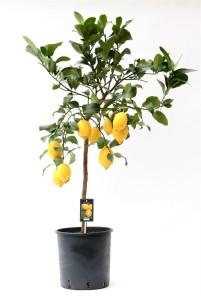 Каламондин (цитрофортунелла) вулкан лимон 28х130 (2)