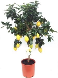 Каламондин (цитрофортунелла) вулкан лимон 30х130 (1)