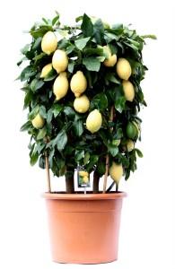 Каламондин (цитрофортунелла) вулкан лимон 46х130 (3)