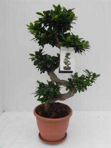 Фикус мелкоплодный женьшень s-образной формы (красивый, полный, ботанический) 29х100 (99)