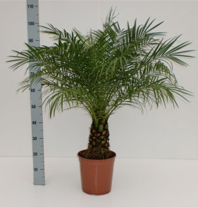 Финиковая пальма Робелена 24х110 (157)