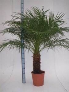 Финиковая пальма робелена (Phoenix roebelenii) 24х120 (151)