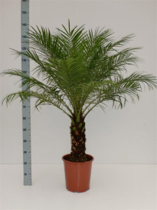 Финиковая пальма робелена (Phoenix roebelenii) 27х130 (145)