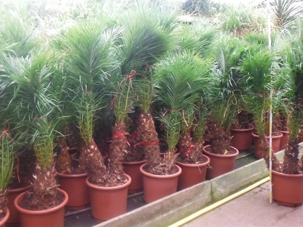Финиковая пальма робелена (Phoenix roebelenii) 40х145 (149)