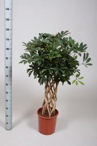 Шеффлера древовидная (Schefflera arboricola) 27х130 (175)