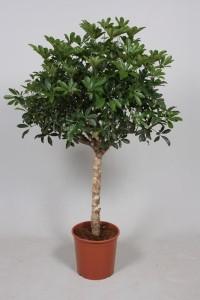 Шеффлера древовидная (Schefflera arboricola) 27х130 (177)