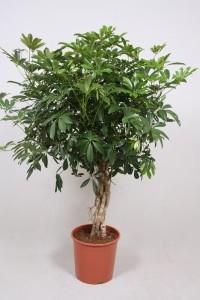 Шеффлера древовидная (Schefflera arboricola) 30х130 (179)