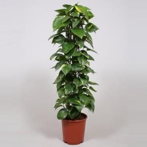 Эпипремнум перистый (Epipremnum pinnatum) 24х120 (152)
