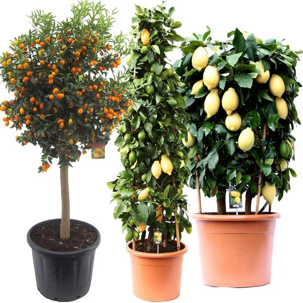Плодовые, цитрусовые растения