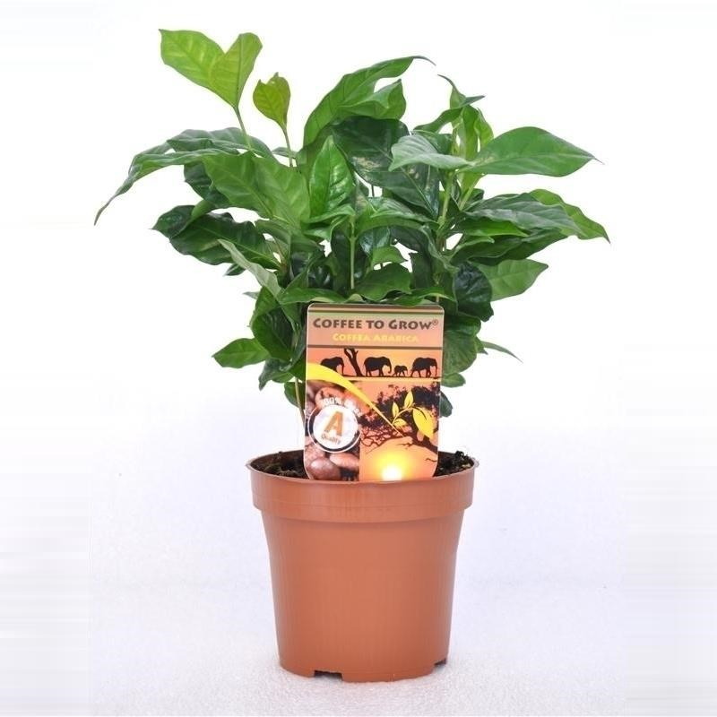 Уход за цветком кофе арабика в домашних условиях